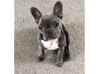 Little French Bulldog girl