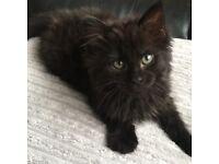 Fluffy black kitten