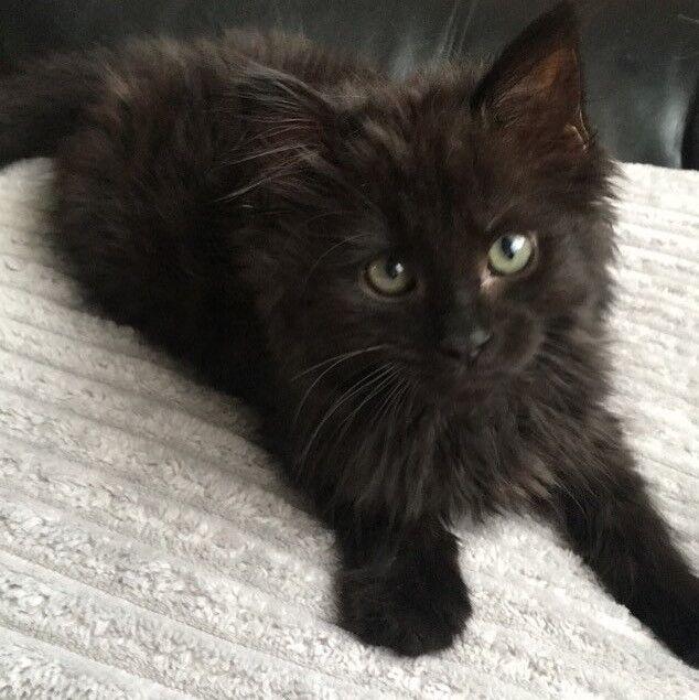 Image result for fluffy black kitten