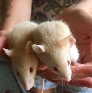 Beautiful baby rats Wingham Greater Taree Area Preview