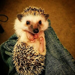 8 months old Hedgehog need a new home