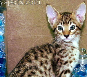 "Black Friday Sale! Savannah Kitten - ""Magnolia"" Ready next week"