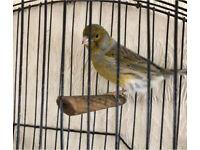 Beautiful male singing canary