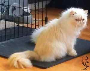 Female pure persian  Edmonton Edmonton Area image 1