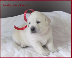 BEAUTIFUL INTELLIGENT WHITE LABRADOR PUPPIES