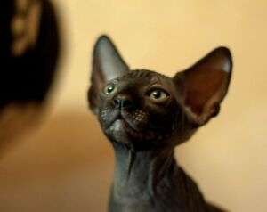 Rare Solid Black and Blue eyed Sphynx Hairless Kittens
