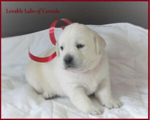 BEAUTIFUL CHAMPION LINED  CKC REGISTERED WHITE LAB PUPPIES