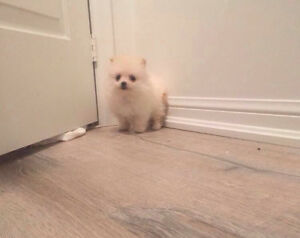 Small Pocket Sized Male Pomeranians