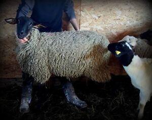 Lot de brebis et un bélier Suffolk enregistrés
