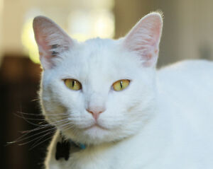 Lost White CAT South Surrey -Elgin