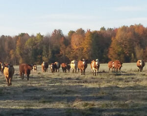 Simmental and Simm-Angus Bred Beef Cows