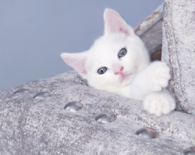 Kitten Turkish Angora