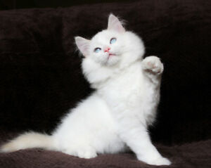 Cream Bi-Colored Ragdoll Male Kitten is Available for Rehoming