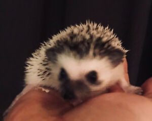 Very sweet and socialized baby Pygmy Hedgehog!