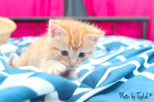 Topaz rescue kitten NK2810 VET WORK INCLUDED