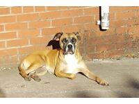 American bulldog cross with Presa Canario