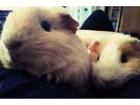Two female guinea pigs and stuff