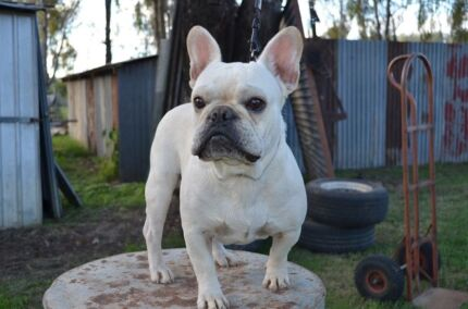 French Bulldog Cream Male Pure Breed Adelaide CBD Adelaide City Preview