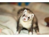Ferret with accesories for 20 pounds