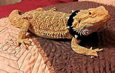Lil' Bestie Leather Studded Collar For Bearded Dragons reptiles Black or Red