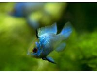 RAMIREZI (RAM) CICHLID TROPICAL FISH