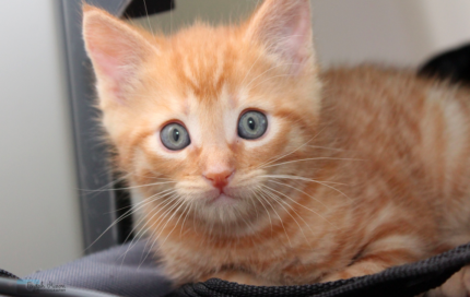 Lucky rescue KITTEN to adopt VET WORK INCLUDED