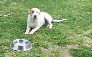American staffy pup Tapping Wanneroo Area Preview