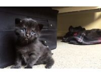 KITTENS! ADORABLE 10 WEEK OLD KITTENS FOR SALE!