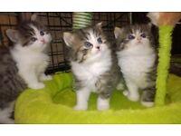 Persian Chinchilla X kittens