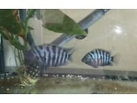 Paired convict cichlids **Tank not included**