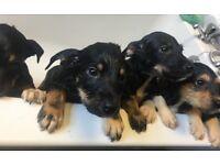 Malamute cross puppies
