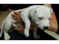 Chunky white Staffordshire Bull terrier pups