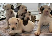 American bulldog puppies/READY TO GO 19TH MAY