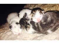 Kittens - Ready 2nd Jan
