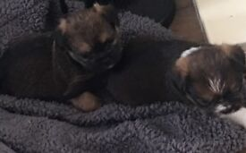Puppies for sale, cross between a jug and Lhasa. Ready in 3 weeks