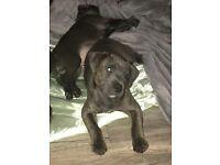 11 Week old Staffordshire Bull Terrier