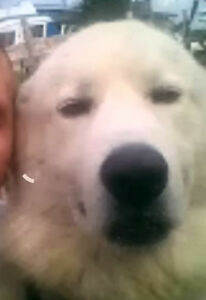 Adult Male  - Great Pyrenees-Akbash