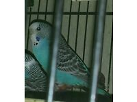 Missing budgie