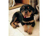 100% Serbian Rottweiler Puppies (Champion Bloodlines)