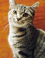 "Young Female Cat - Domestic Short Hair: ""Camilla"""