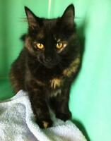 "Adult Female Cat - Domestic Medium Hair-Tortoiseshell: ""Angel"""