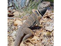 Collars lizards
