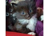 3 kittens for sale ready to leave now