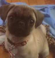 One year old adorable female purebred pug looking for a new home