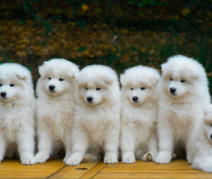 Wanted: Samoyed puppy $1,500