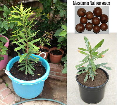 10 Fresh Seeds of Hawaiian Macadamia Nut Tree Plant  on Rummage