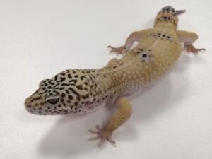 Leopard gecko for rehoming