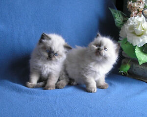 Himalayan Male and Female Kittens