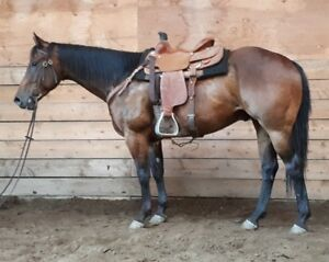 4 year old bay AQHA gelding for sale