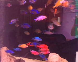 Big selection of top quality African cichlids !
